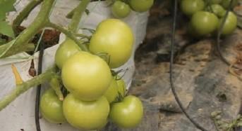 Tomato Lojing terbaik di Malaysia