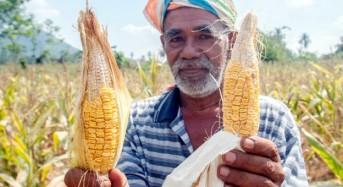 70 pengusaha jagung alami kerugian RM100,000